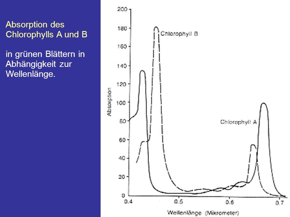 Absorption des Chlorophylls A und B
