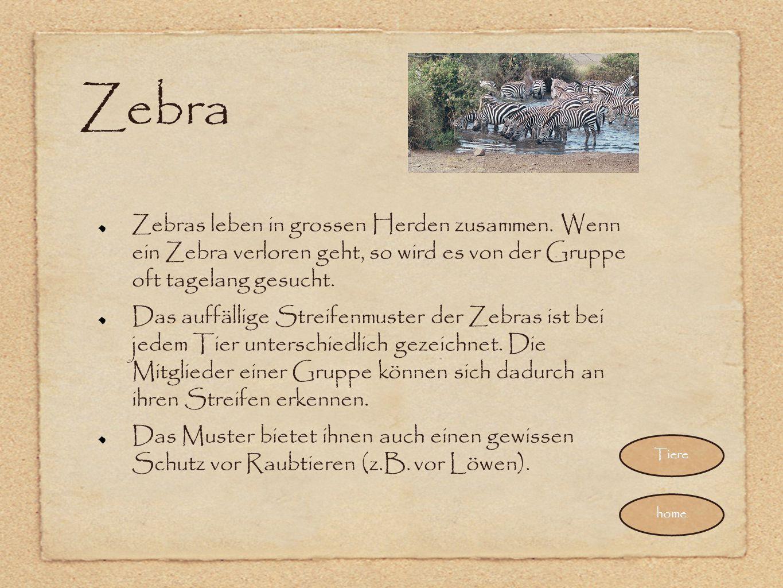Zebra Zebras leben in grossen Herden zusammen. Wenn ein Zebra verloren geht, so wird es von der Gruppe oft tagelang gesucht.