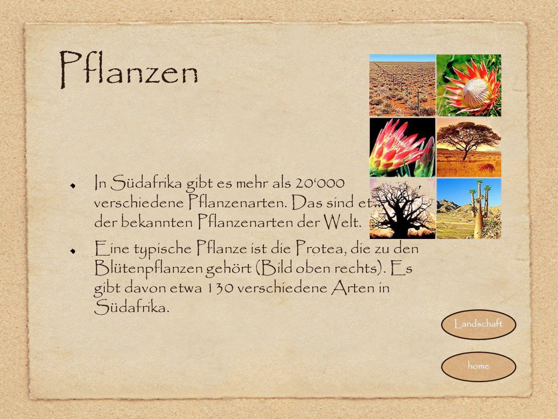 Pflanzen In Südafrika gibt es mehr als 20'000 verschiedene Pflanzenarten. Das sind etwa 10% der bekannten Pflanzenarten der Welt.