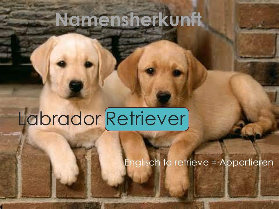 Namensherkunft Labrador Retriever Englisch to retrieve = Apportieren