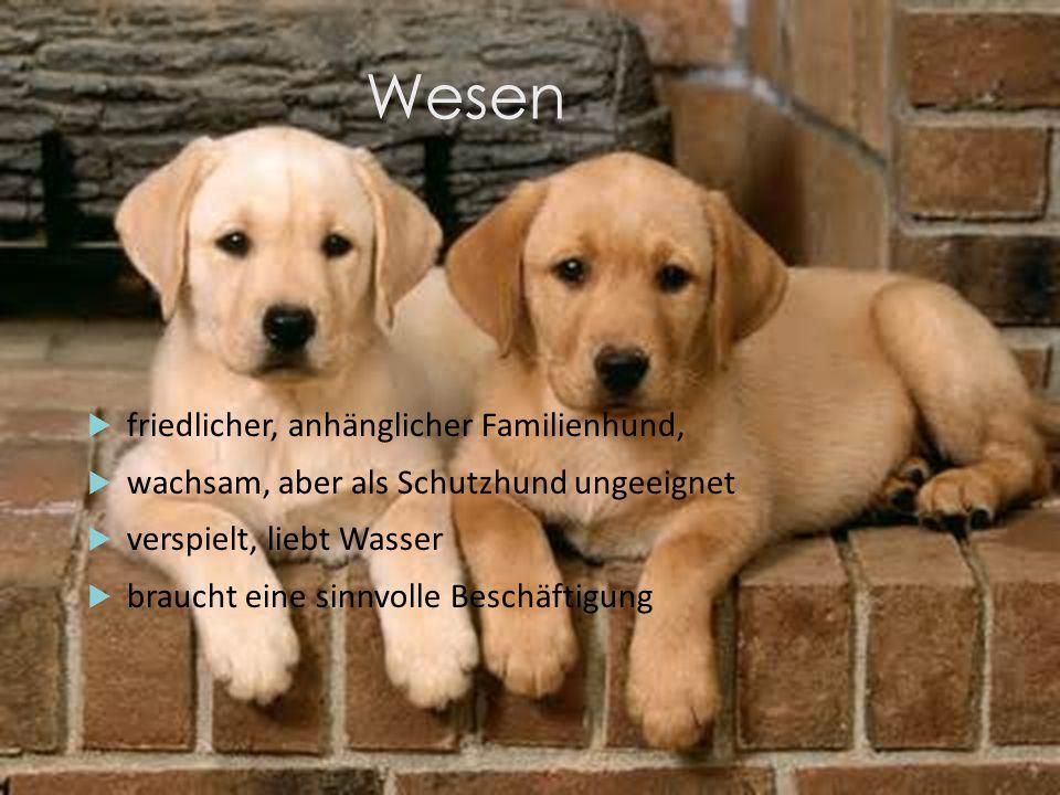 Wesen friedlicher, anhänglicher Familienhund,