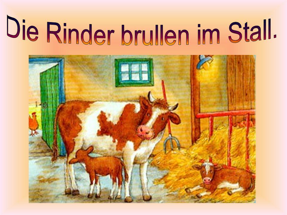 Die Rinder brullen im Stall.