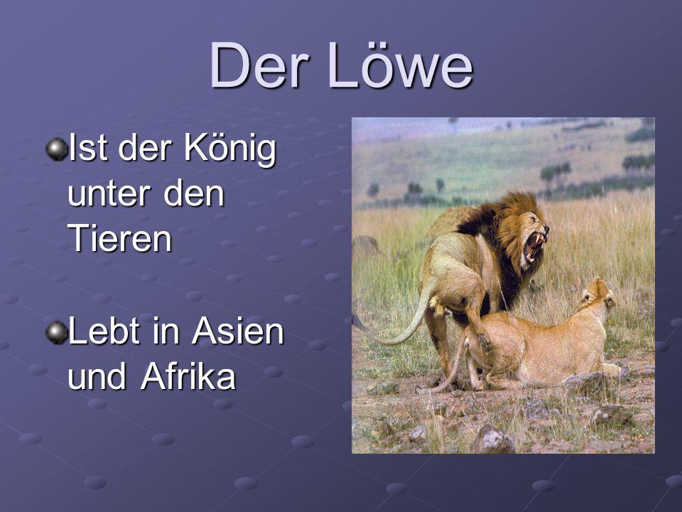 Der Löwe Ist der König unter den Tieren Lebt in Asien und Afrika