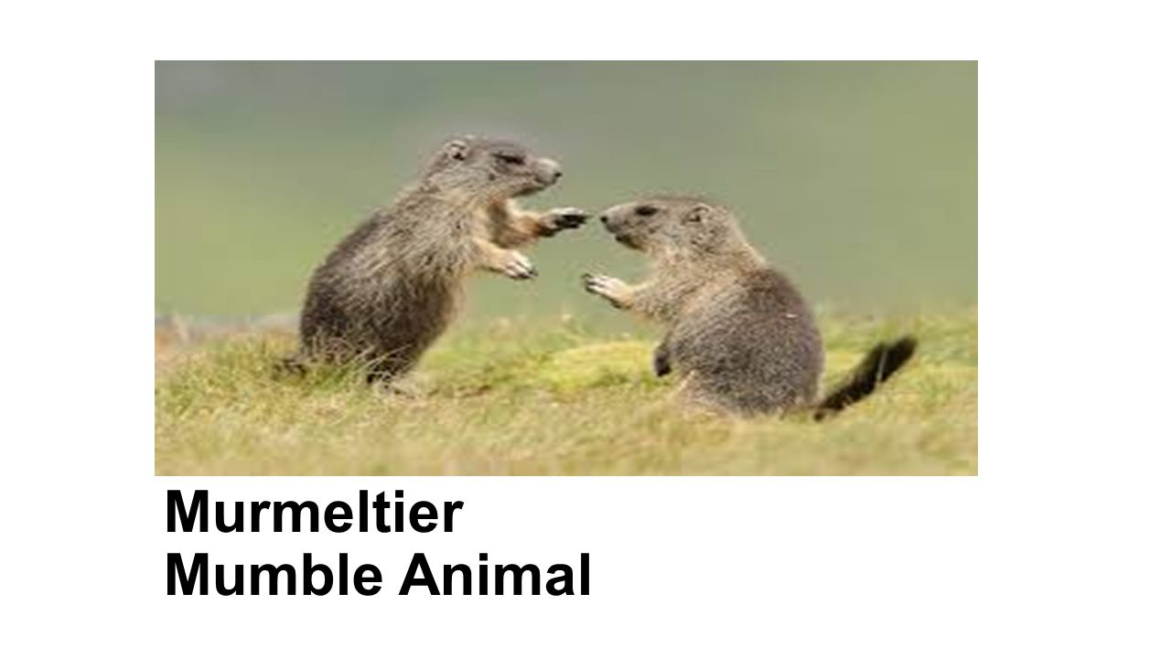 Murmeltier Mumble Animal