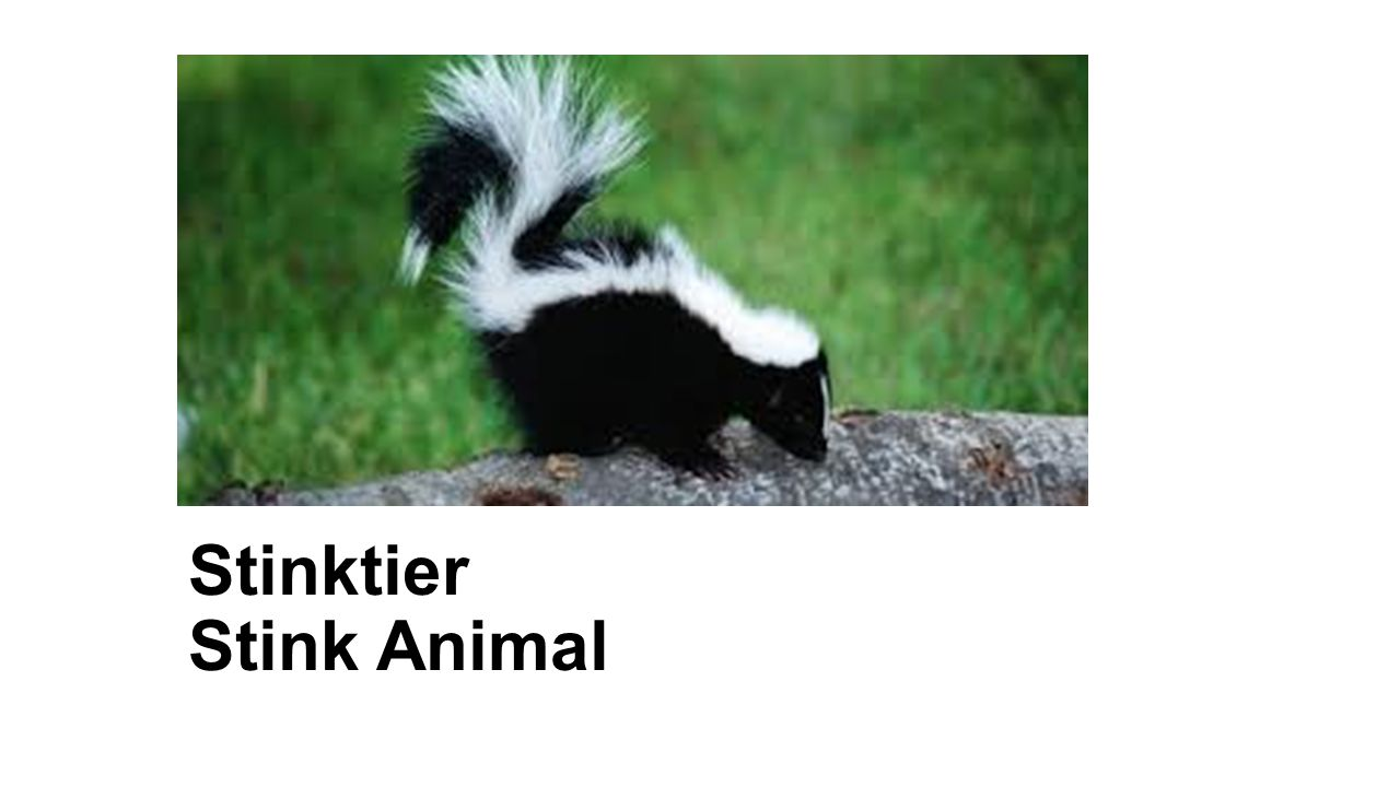 Stinktier Stink Animal