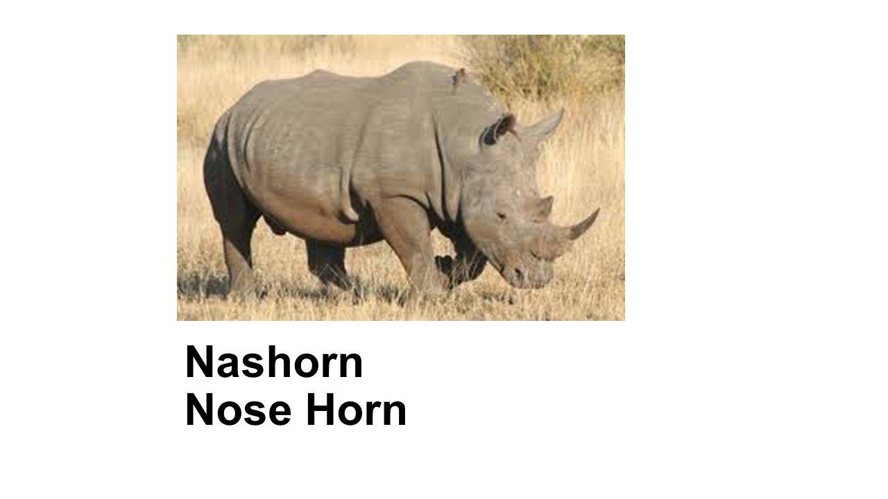 Nashorn Nose Horn