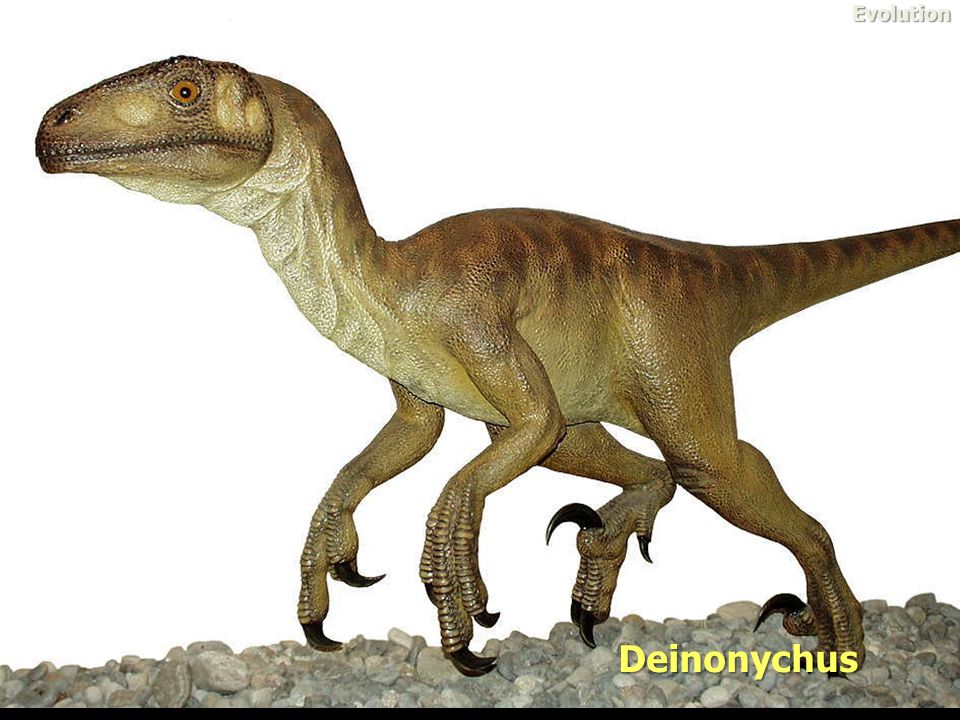 Evolution Deinonychus