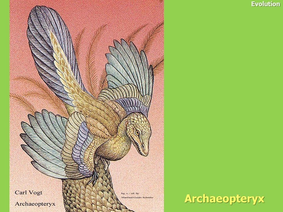 Evolution Archaeopteryx