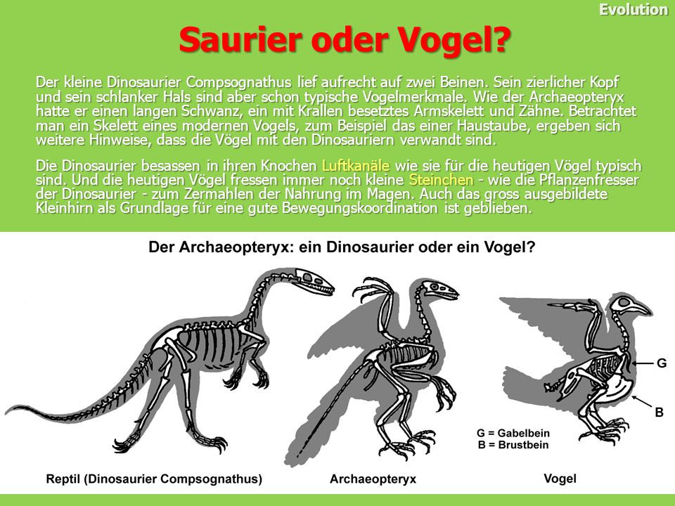 Saurier oder Vogel Evolution