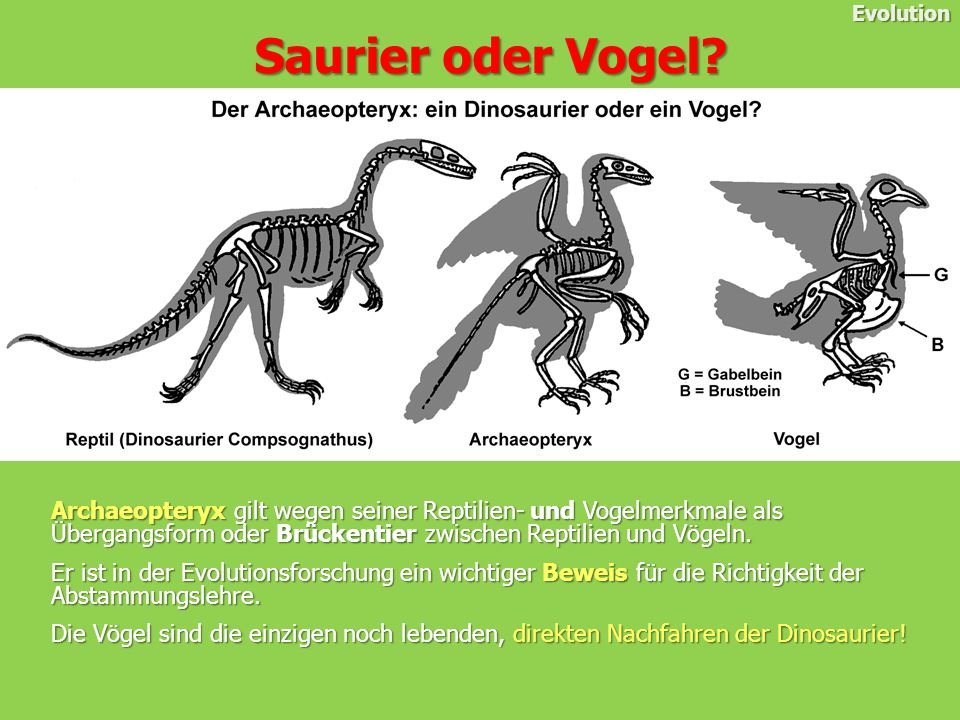 Evolution Saurier oder Vogel