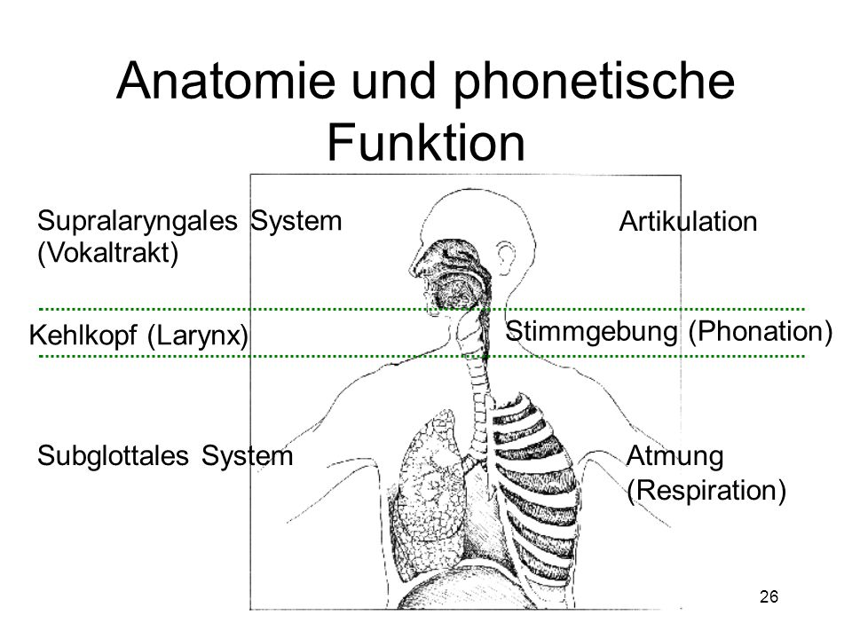 Anatomie und phonetische Funktion