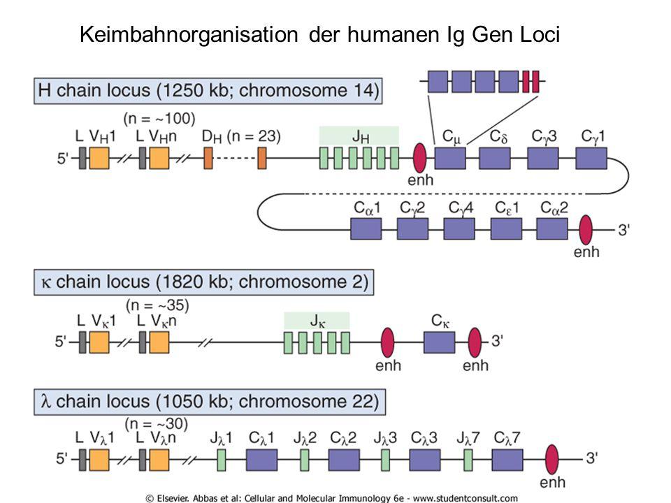 Keimbahnorganisation der humanen Ig Gen Loci
