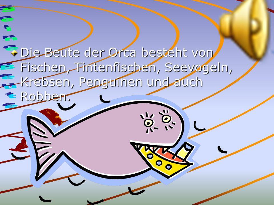Die Beute der Orca besteht von Fischen, Tintenfischen, Seevogeln, Krebsen, Penguinen und auch Robben.