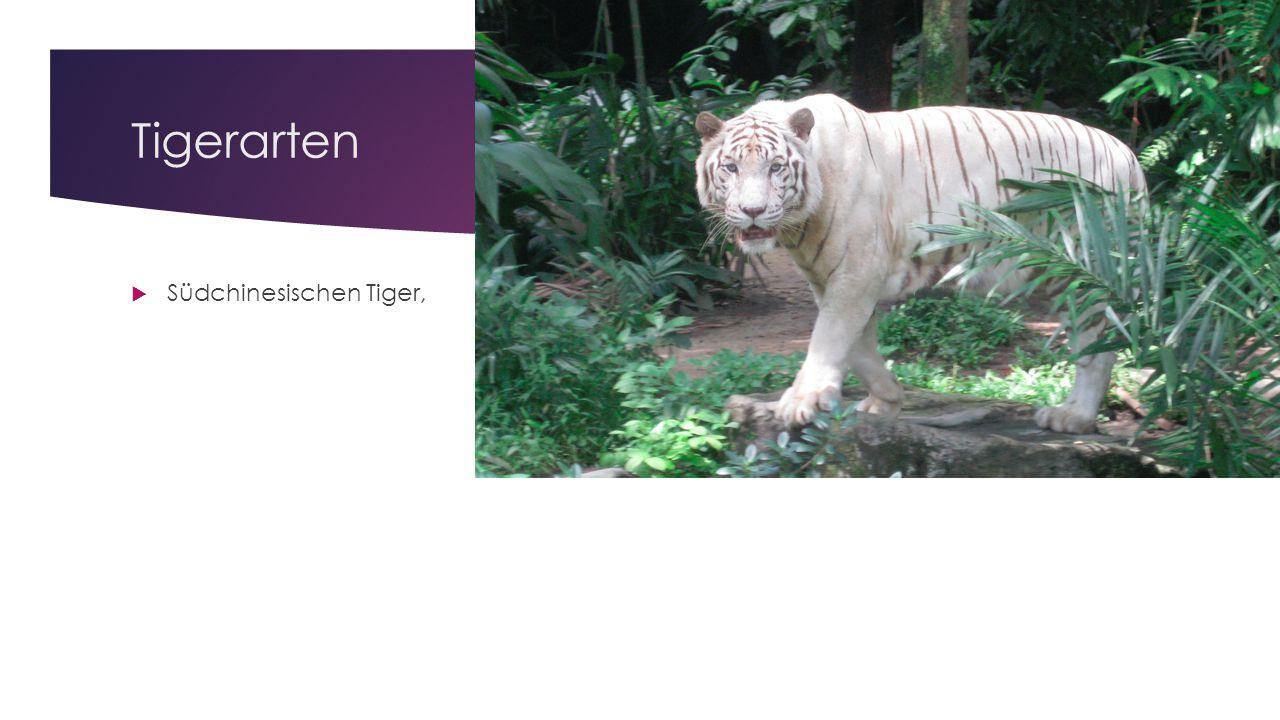 Tigerarten Südchinesischen Tiger,