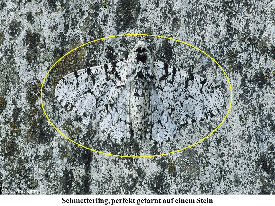 Schmetterling, perfekt getarnt auf einem Stein