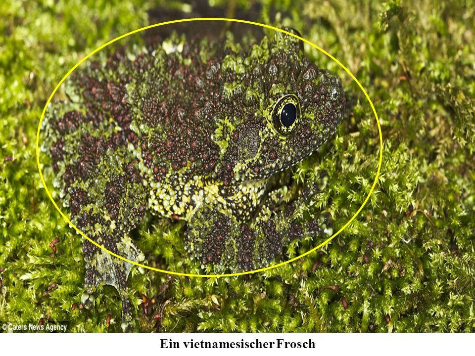 Ein vietnamesischer Frosch