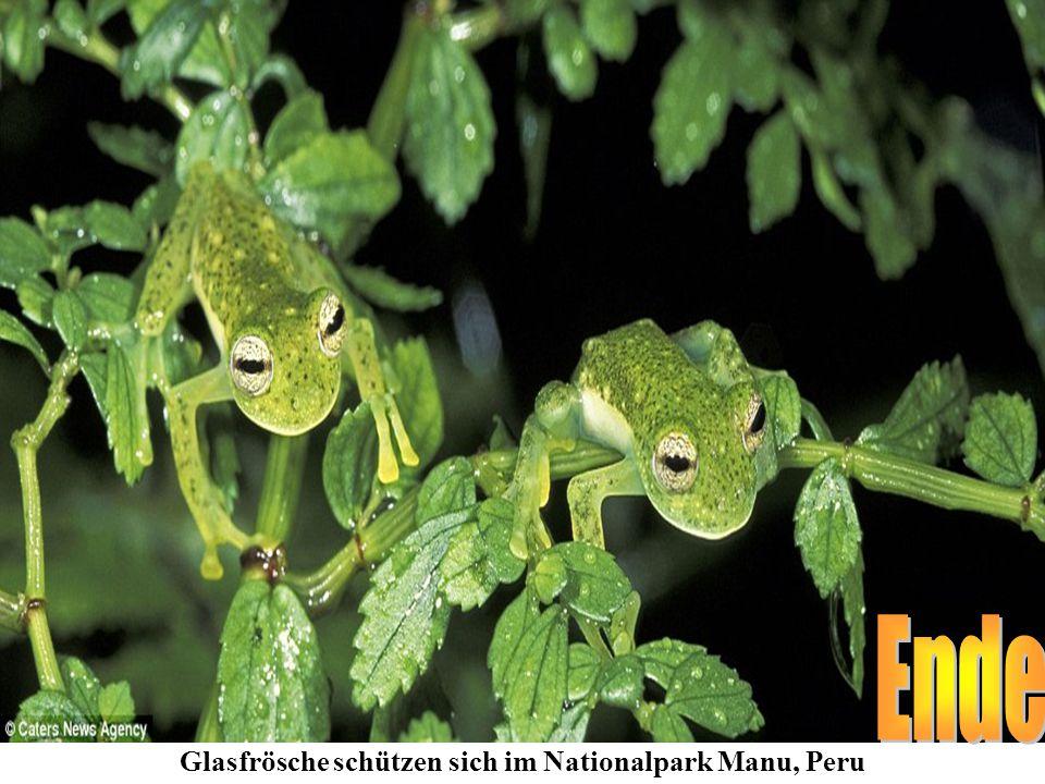 Glasfrösche schützen sich im Nationalpark Manu, Peru