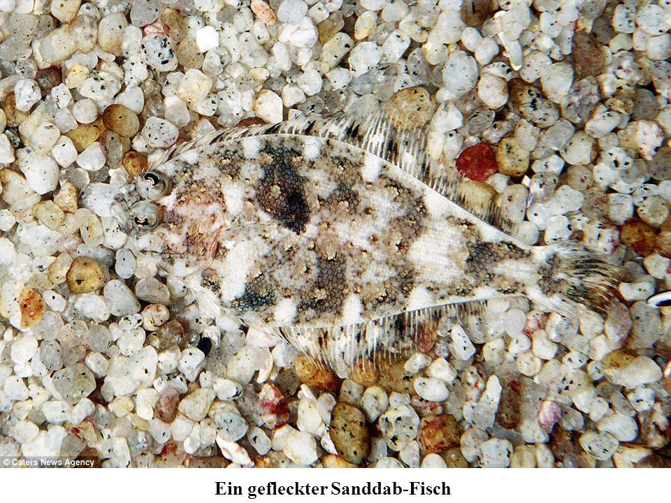 Ein gefleckter Sanddab-Fisch