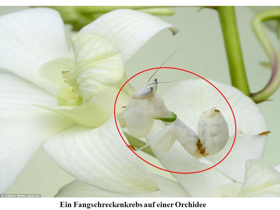 Ein Fangschreckenkrebs auf einer Orchidee