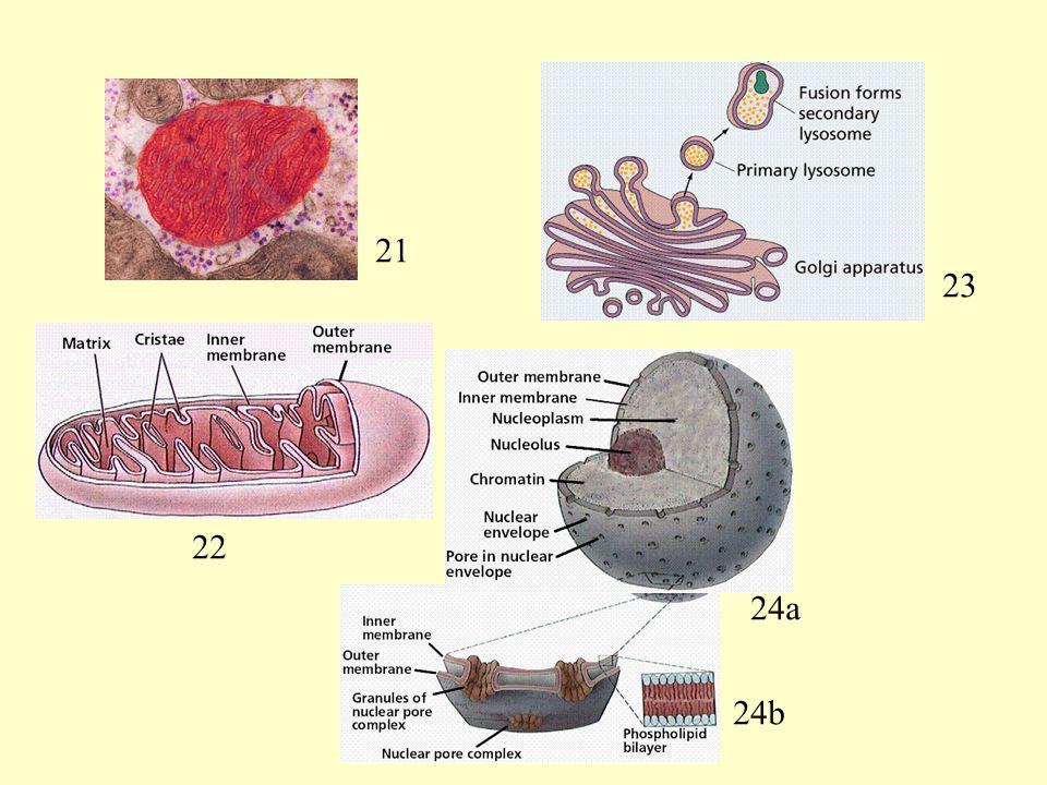 Who Is Who 2 21 23 Mitochondrium / Dictyosom mit Lysosom / Nucleus mit Poren 22 24a 24b