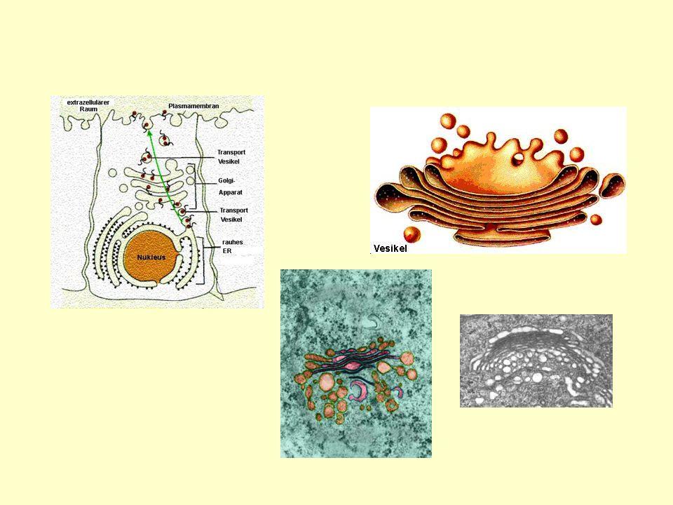 Golgi-Apparat (Dictyosomen)