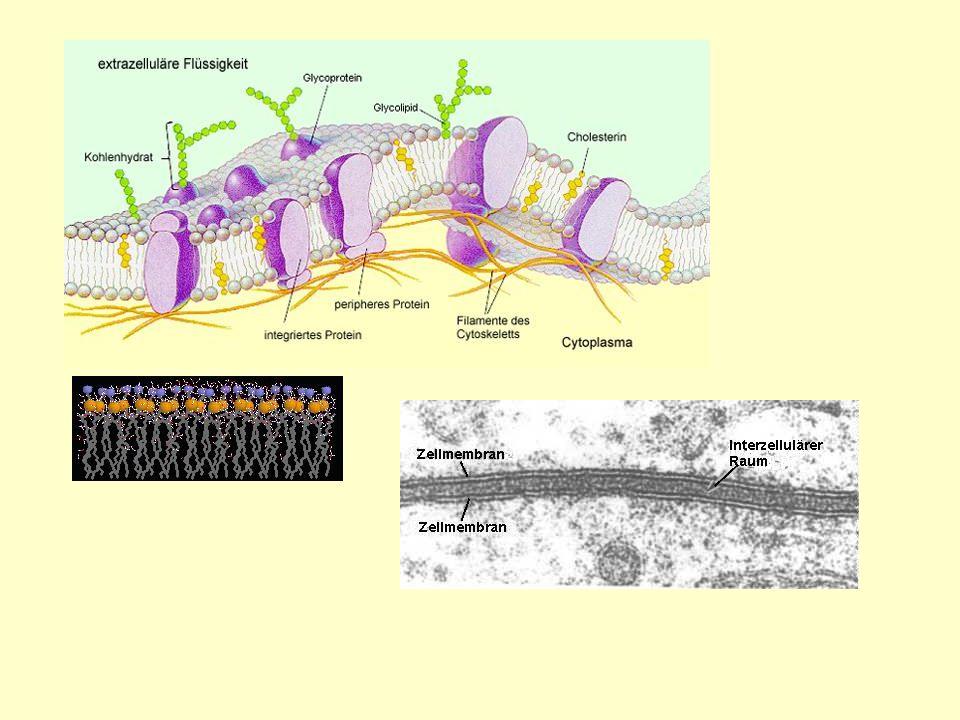 Biomembran1