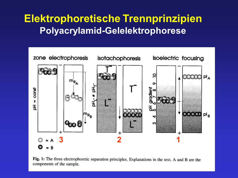 Elektrophoretische Trennprinzipien Polyacrylamid-Gelelektrophorese