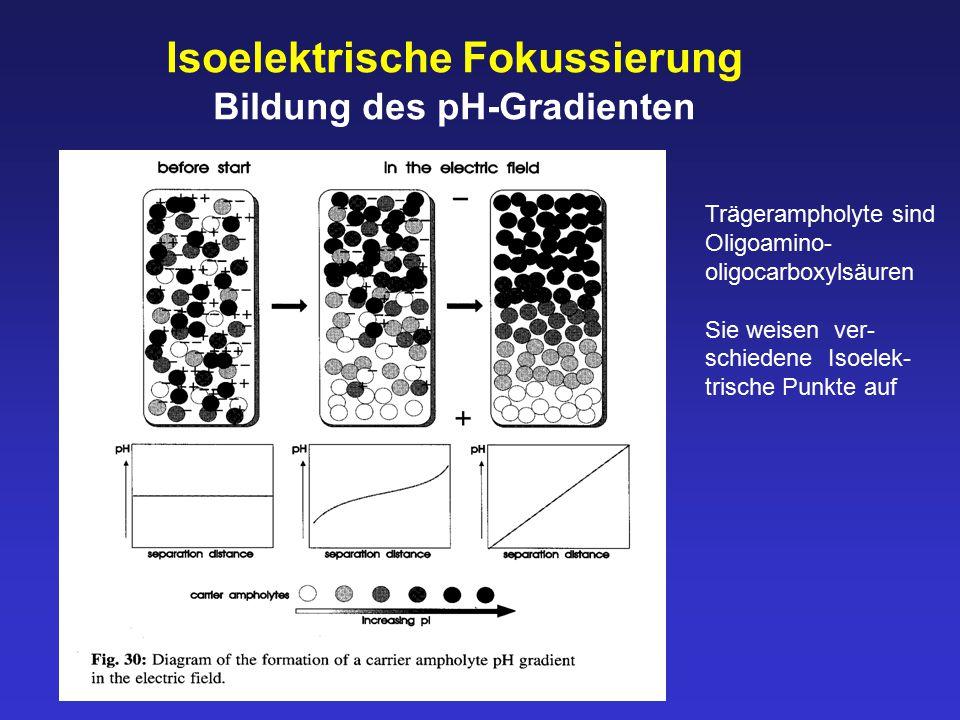 Bildung des pH-Gradienten