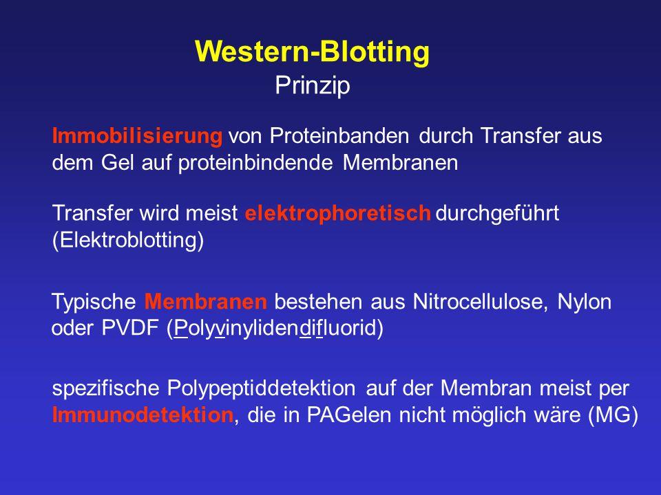 Western-Blotting Prinzip
