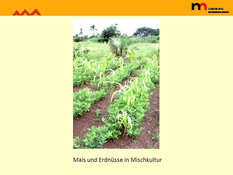 Mais und Erdnüsse in Mischkultur