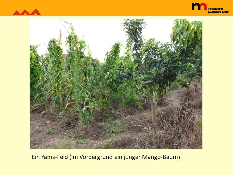 Ein Yams-Feld (im Vordergrund ein junger Mango-Baum)