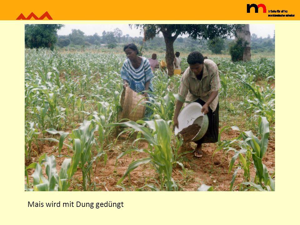 Mais wird mit Dung gedüngt