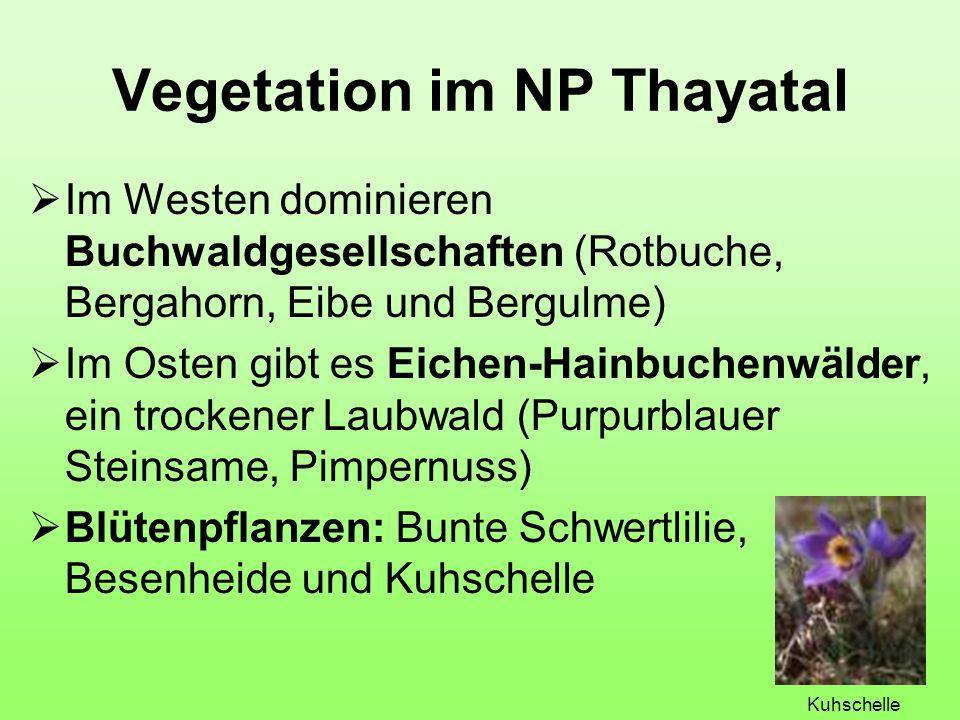 Vegetation im NP Thayatal