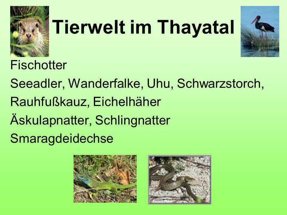 Tierwelt im Thayatal Fischotter