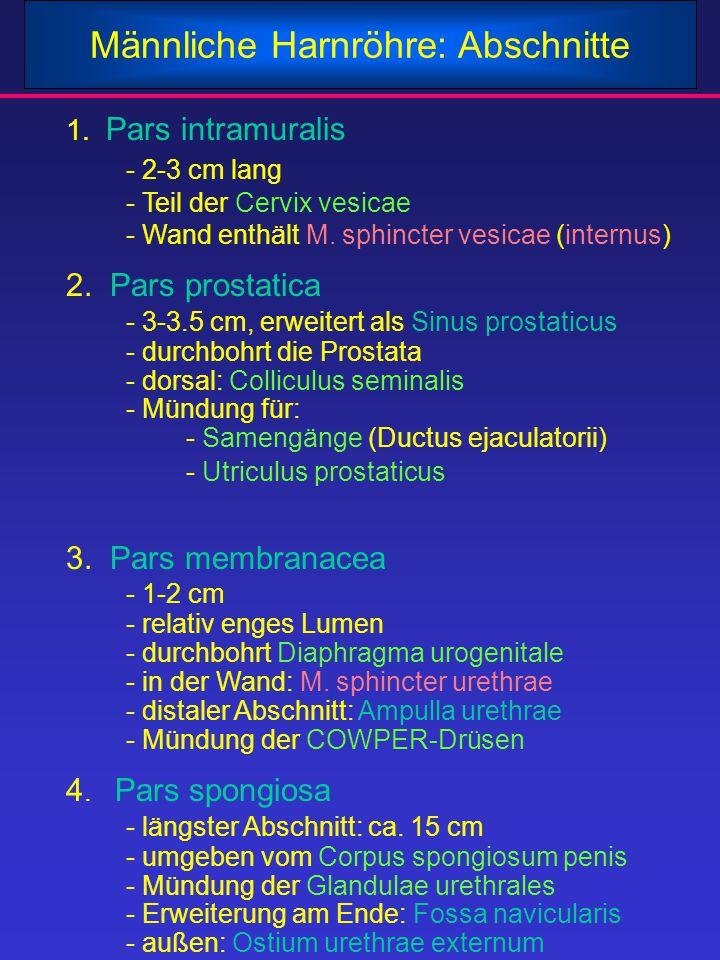 Männliche Harnröhre: Abschnitte