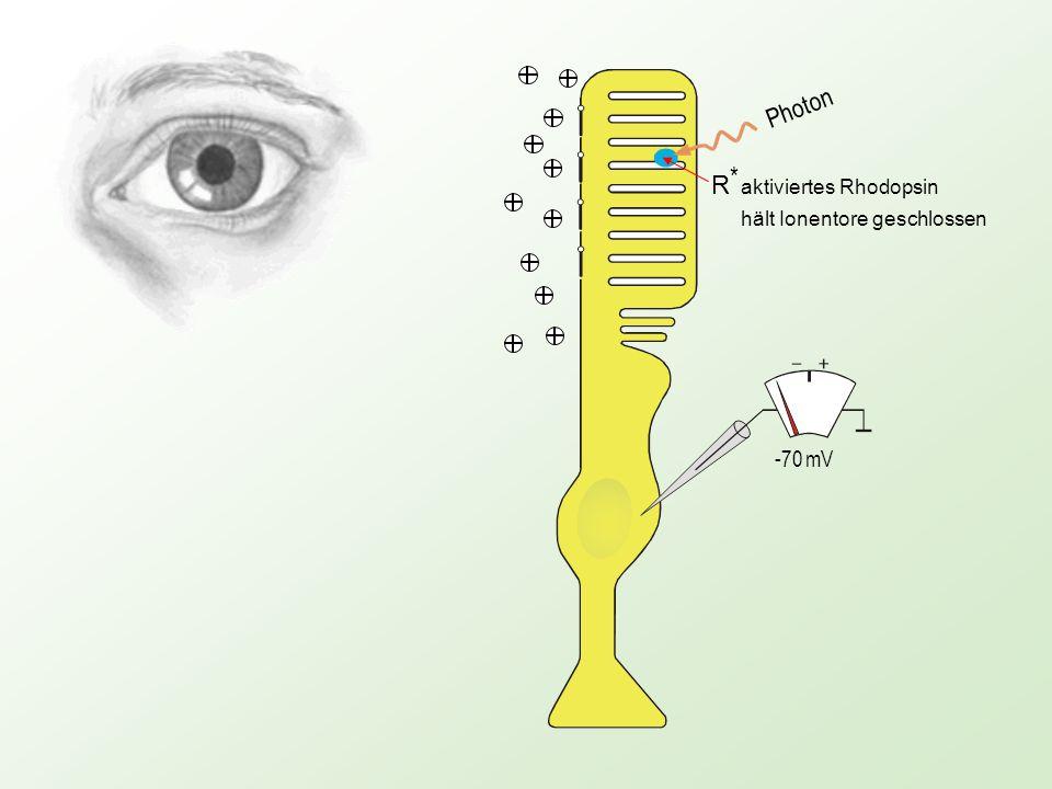 Photon R * aktiviertes Rhodopsin hält Ionentore geschlossen -70 mV