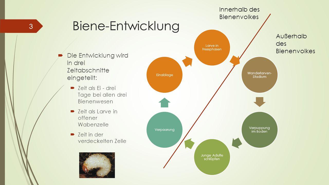 Biene-Entwicklung Innerhalb des Bienenvolkes