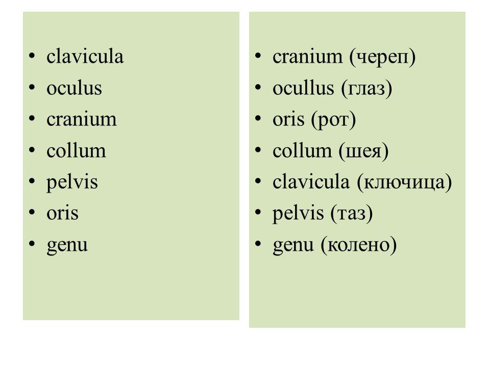 clavicula oculus. cranium. collum. pelvis. oris. genu. cranium (череп) ocullus (глаз) oris (рот)