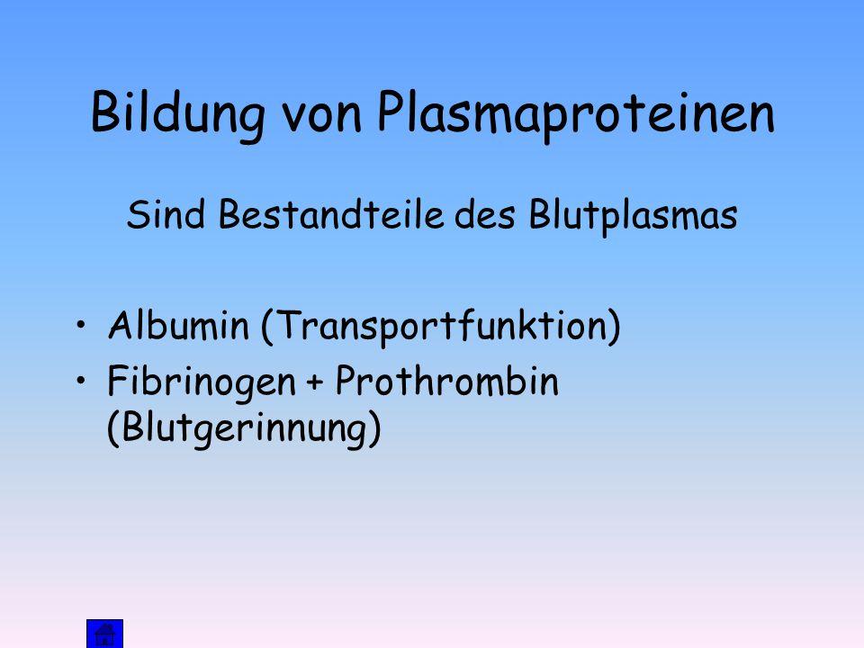 Bildung von Plasmaproteinen