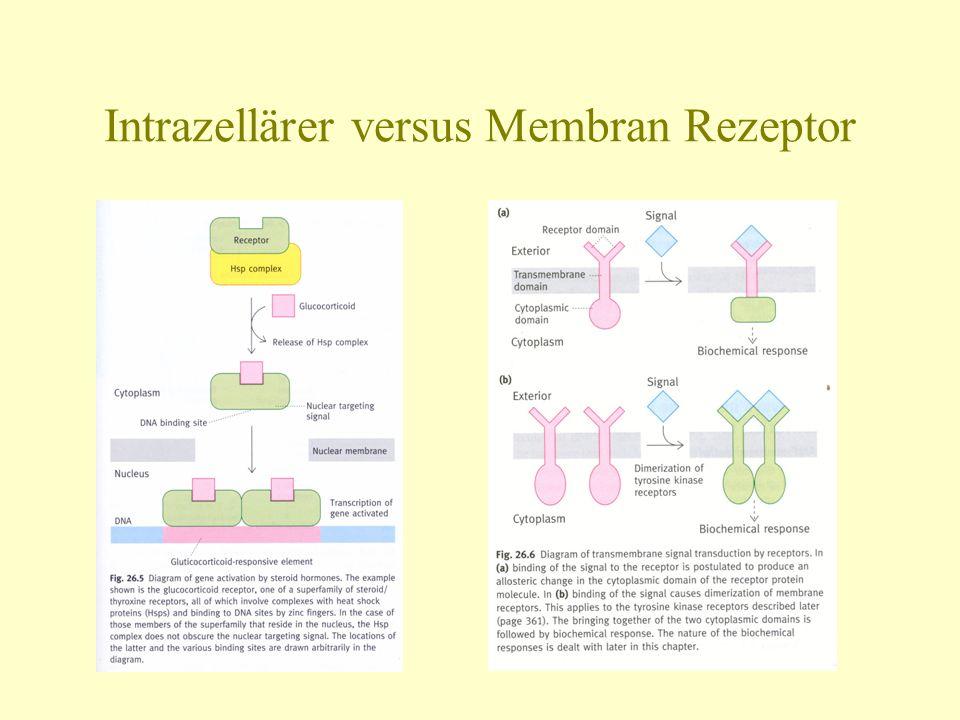 Intrazellärer versus Membran Rezeptor