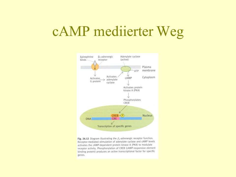 cAMP mediierter Weg