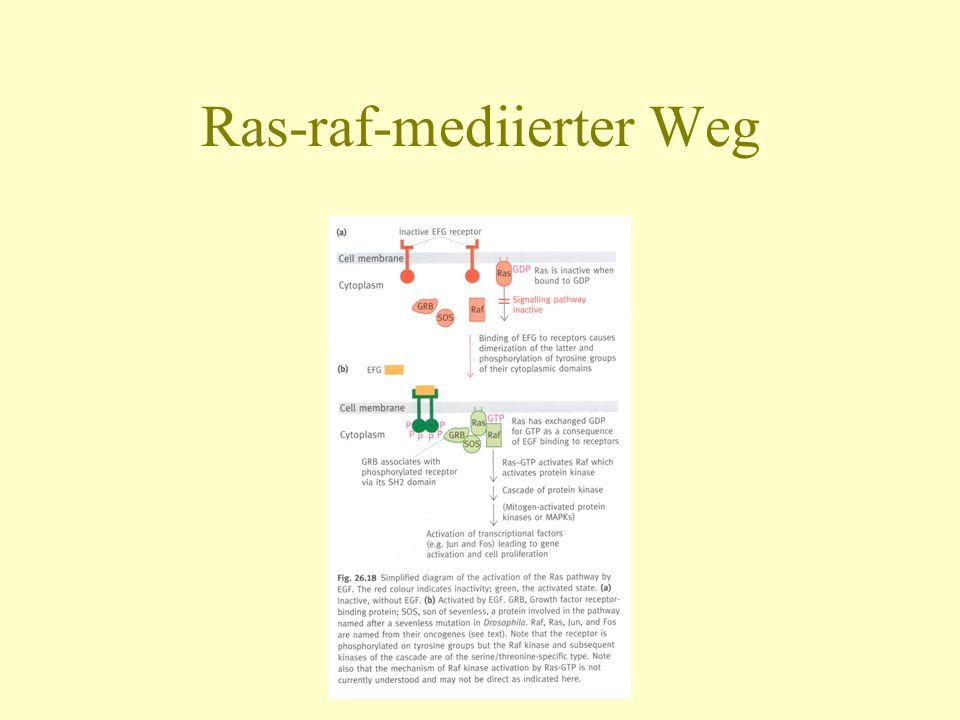 Ras-raf-mediierter Weg