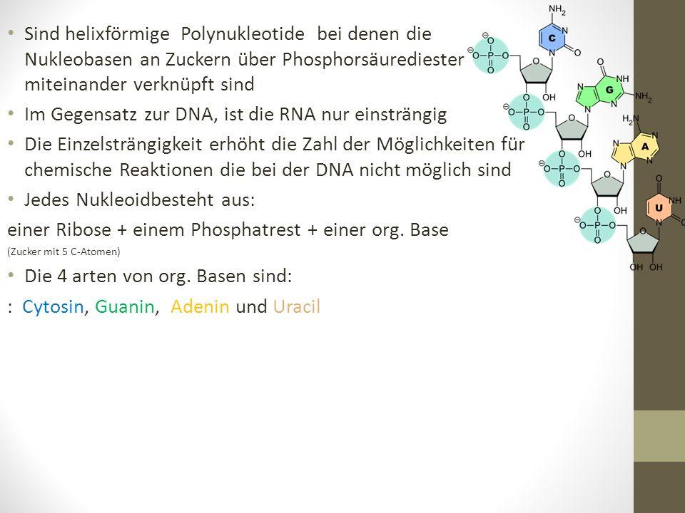 Im Gegensatz zur DNA, ist die RNA nur einsträngig