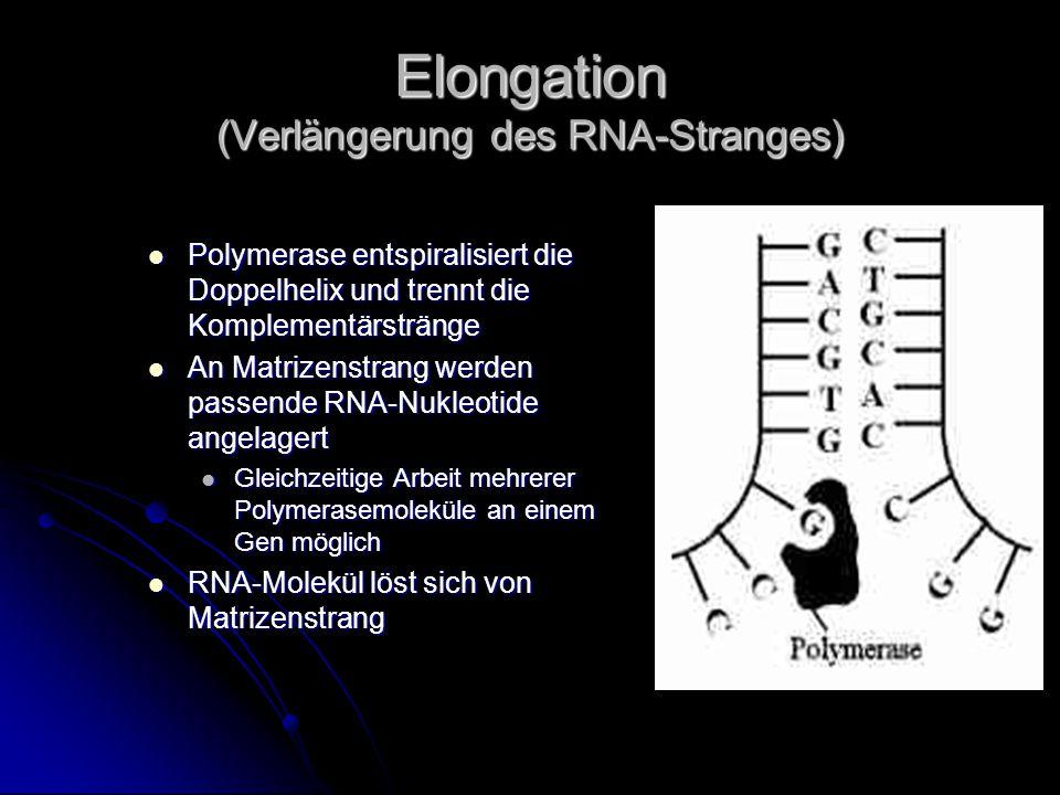 Elongation (Verlängerung des RNA-Stranges)