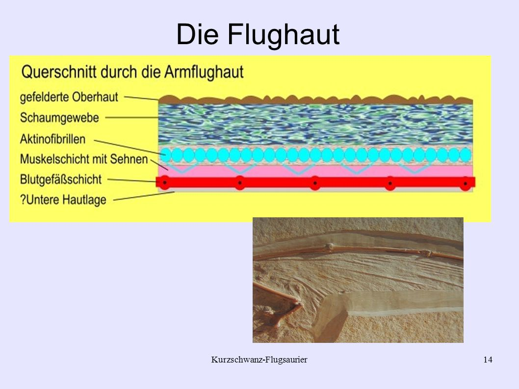 Kurzschwanz-Flugsaurier