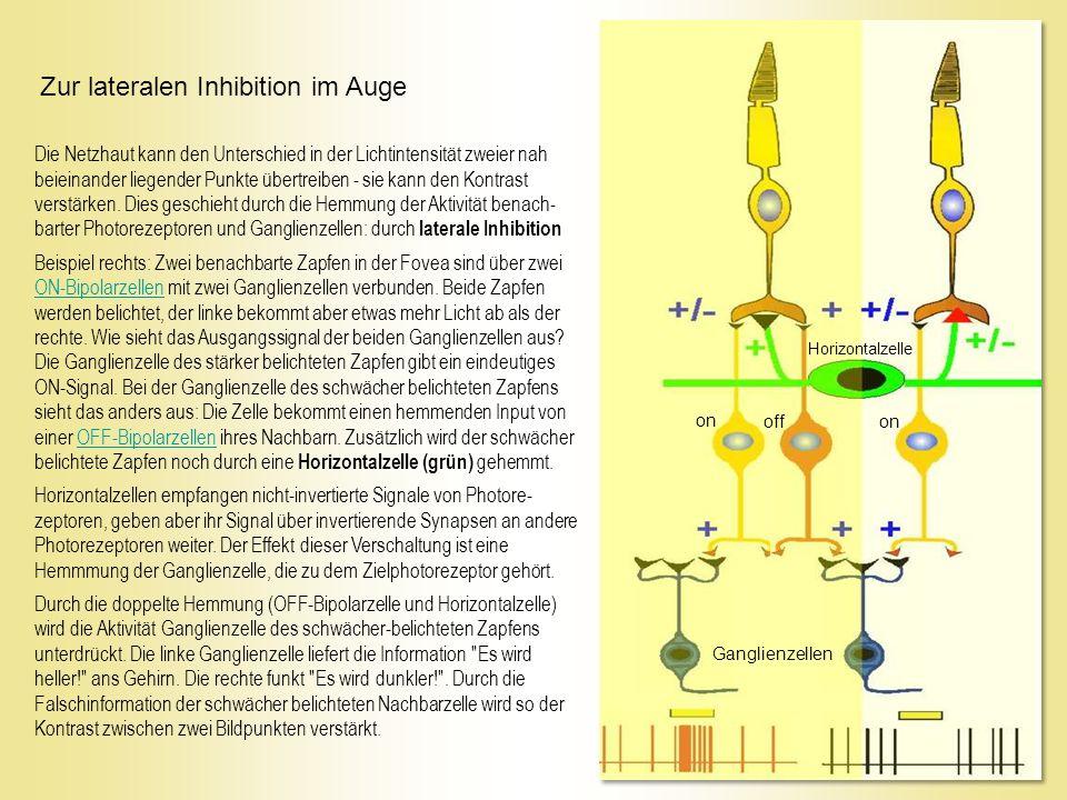 Zur lateralen Inhibition im Auge