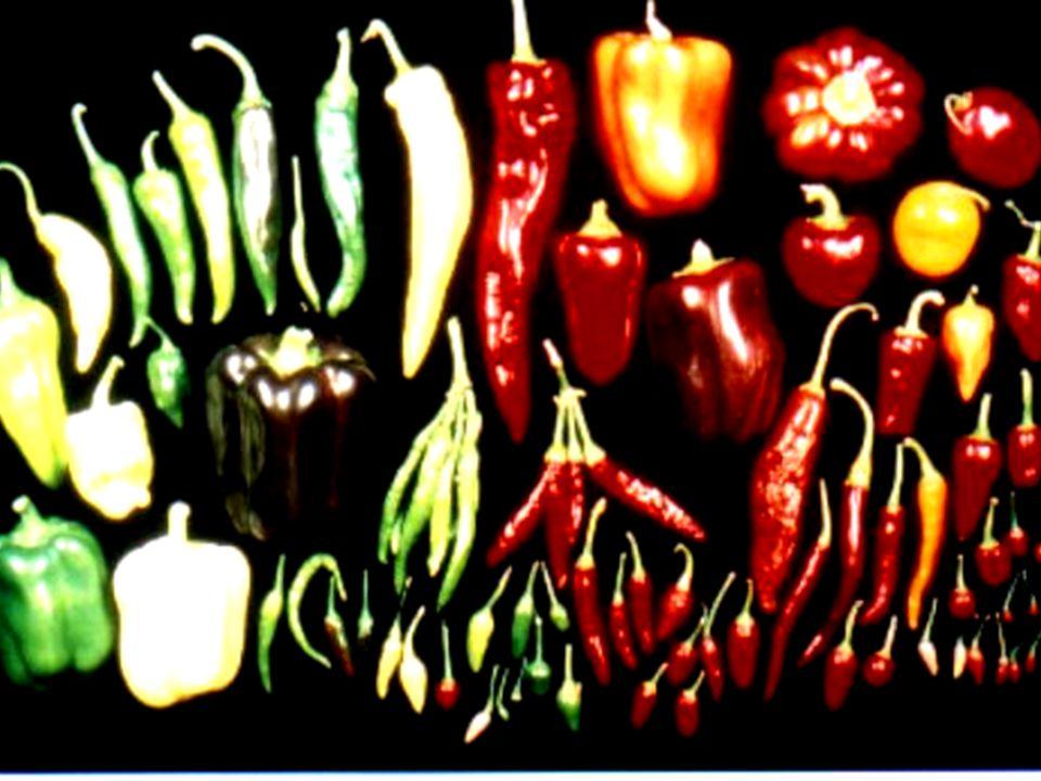 Paprika NABU-Projekt Kulturpflanzenvielfalt BfN, Insel Vilm 24.07.2001