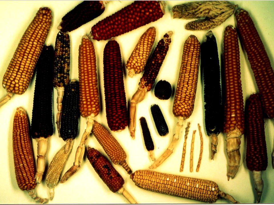 Mais NABU-Projekt Kulturpflanzenvielfalt BfN, Insel Vilm 24.07.2001