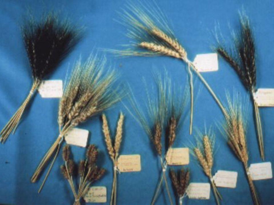 Getreide NABU-Projekt Kulturpflanzenvielfalt