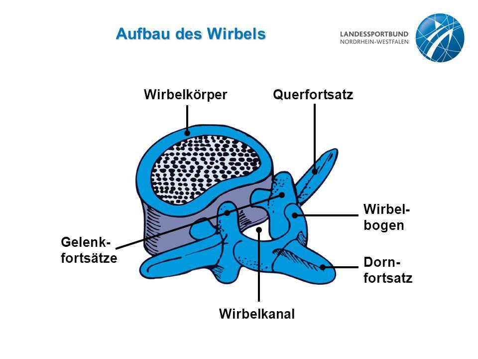Aufbau des Wirbels Wirbelkörper Querfortsatz Gelenk- fortsätze